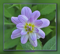 Lilac Dream (pedro2324) Tags: flower nature up petals close purple helicon