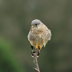 Common kestrel looking for prey - Explored front page - (Wouter's Wildlife Photography) Tags: bird ngc hunting npc raptor falcon predator birdsofprey kestrel vogel valk falcotinnunculus torenvalk commonkestrel roofvogel avianexcellence lentevreugd mygearandme mygearandmepremium mygearandmebronze exploreseptember20th2012