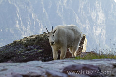 "Mountain Goat • <a style=""font-size:0.8em;"" href=""http://www.flickr.com/photos/63501323@N07/8007173436/"" target=""_blank"">View on Flickr</a>"