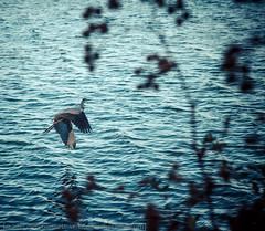 Flight (dina bennett) Tags: bird heron water flying wings montreal flight dinabennett