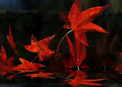 Leaves Flickering Like Flames in the Night (oliver.odd - strangely peculiar) Tags: colour tree art nature creativity sticky beak award soul ab
