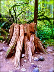 stumpy (skintone) Tags: old canada beauty dead rainforest bc vibrant stumpy stump alive lush majestic lynncanyon skintone TGAM:photodesk=details2012
