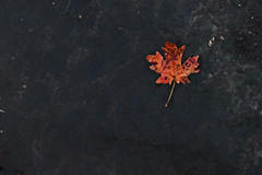 red leaf (bradenm777) Tags: red color art nature beautiful rock contrast season dead outdoors utah leaf pretty alone artistic hiking dirty adventure crisp fallen single change backdrop transition simple simplistic spanishfork naturalistic