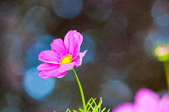 Cosmos and bokeh (Steve-h) Tags: park pink flowers blue ireland dublin green art tourism nature beautiful beauty leaves yellow canon eos gold grey design petals europe zoom bokeh gorgeous blossoms gray tourists stamens telephoto handheld recreation f8 cosmos aerlingus spotmetering ststephensgreen anthers aperturepriority iso1250 steveh canonef100400mmf4556lisusm 1200sec 100mm400mm canoneos5dmkii canoneos5dmk2 bestcapturesaoi elitegalleryaoi august2012 rememberthatmomentlevel4 rememberthatmomentlevel1 rememberthatmomentlevel2 rememberthatmomentlevel3 rememberthatmomentlevel7 rememberthatmomentlevel9 rememberthatmomentlevel5 rememberthatmomentlevel6 rememberthatmomentlevel8 rememberthatmomentlevel10