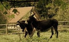Spielende Esel - playing donkeys (Manuela Salzinger) Tags: autumn weide herbst donkey pasture outdoormuseum esen freilichtmuseumneuhausenobeck