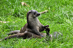 Otters.( High Five ). (spw6156 - Over 5,065,001 Views) Tags: copyright high five steve  iso otter 800 waterhouse