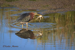 GreenHeron_65K9758 (lesliemorris) Tags: california two usa bird heron nature animals horizontal standing outdoors photography texas eating wildlife hunting fulllength amphibian nopeople frog sideview wading greenheron colorimage beautyinnature animalthemes specanimal focusonforeground cosumnsriverpreserve