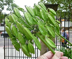 Invasion of the Alien Seedpods (helenoftheways) Tags: uk plants green london freeassociation aliens seeds agapanthus foresthill hornimanmuseum