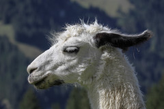 Lama Portrait (bohnengarten) Tags: mountain alps schweiz switzerland swiss berge lama alpen kamel kiental
