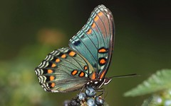 Red Spotted Purple (DrPhotoMoto) Tags: blue orange butterfly berry wasp northcarolina canopener lantana mimic richmondcounty limenitisarthemis redspottedpurple limenitisarthemisastyanax thinfilminterference frequencywaves pipevineswallowtailmimic