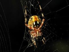 Glowing Orb (zxgirl) Tags: animal animals bug spider md spiders web arachnid flash greatfalls spiderweb maryland bugs arachnids arthropods animalia arthropoda arachnida orbweaver s5 arthropod araneae orbweavers araneidae araneomorphae img7650 entelegynes
