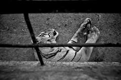 DSC_9711 (Kangaxxx) Tags: bw nikon tiger harbin     1424 d7000