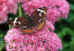 256e buckeye on pink 2 (jjjj56cp) Tags: pink flowers nature butterfly insect ngc blossoms september npc blooms mariposa sedum buckeye schmetterling blooming stonecrop farfalle inthewild thegalaxy jennypansing