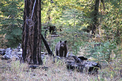 Some weird dog I saw in the woods. (tony perrie) Tags: california bear lake leaf tahoe fallen fallenleaf blackbear southlaketahoe fallenleaflake eldoradonationalforest tahoecalifornia southlaketahoecalifornia