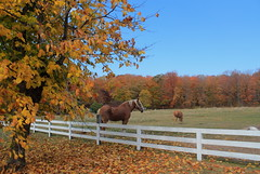 Autumn Horses (Cole Chase Photography) Tags: autumn horses horse color fall wisconsin october farm fences doorcounty ruralamerica northernwisconsin fencedfriday