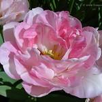 Dutch Tulips, Keukenhof Gardens, Holland - 4000  POTD thumbnail