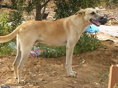 Vie dans une ferme (plantée de jeunes oliviers) dans les environs de Ghar El Melh, nord-est de la Tunisie (Citizen59) Tags: chien les silver de dune ghar el type ferme garde dans tunisie vie berger jeunes oliviers melh nordest plantée nommé gharelmelh environnements