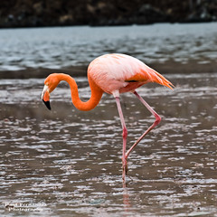 American Flamingo Sifts for Dinner, Floreana, Galapagos Islands (D200-Paul) Tags: flamingo galapagos floreana santamaria americanflamingo galapagosislands islasantamaria flamingoamerican