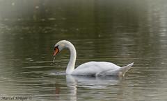 Schwan (Krüger Fotografie) Tags: see nikon wasser sigma nikkor schwan spiegelung liebe tier vogel tropfen alleine federn hübsch 120400 d5100