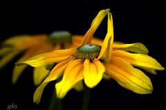 yellow flower.... (gks18) Tags: flowers light flower nature floral yellow closeup vancouver canon garden bloom onblack vandusen naturethroughthelens