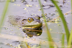 Frog (londa.farrell) Tags: 2016 annapolisvalley canada canon canondslr canoneos7dmarkii kentville may minersmarsh novascotia daytime frog outdoor spring