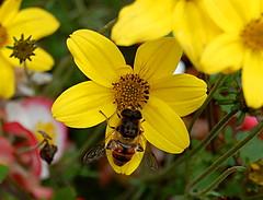 Pszczoa i kwiat - Bee and flower (Jarosaw Pocztarski) Tags: pszczoa kwiat bee flower