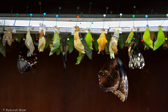 Pupae and emerging butterflies (DiDaDoDeborah) Tags: butterfly butterflies vlinder vlinders vlindorado insect flickrinsects closeupinsect bestinsect pupa pupae