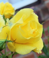 Yellow Roses (Rory Llowarch) Tags: rose roses rosebush rosebushes yellowrose yellowroses rosaceae rosa rosegarden gardens garden yellow rosegardens english englishgardens englishgarden flower flowers plants plant beauty beautiful pretty sunny sunshine summer summertime bloom blooms bloomers buds rosebud rosebuds englishroses englishrose color colorful colourful colour hampshire england fareham farehamhampshire rosepetals rosepetal petals petal