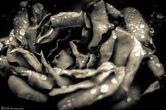 Larrosa (ainhoa.beristain) Tags: oranges nature beautiful flower lonely one macrofotografa serenidad profundidad de campo floracin planta bokeh patrn orgnico aire libre brillante flor fleurie france frantzia mimizan aureilan camping parque botanico promenade borde para fotos vintage colores francia blackwhite txuribeltza txuribeltzeanbizi blancoynegro larrosa rose roses rosas rosa chateau villandry