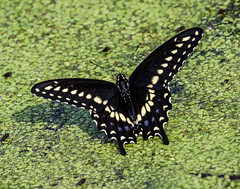 Black Swallowtail (shooter1229) Tags: heronpark wetlands nature insect outdoors blackswallowtail canon butterly avian animal