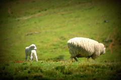 Ares de primavera (Eduardo Amorim) Tags: ovelha ovelhas cordeiro cordeiros oveja ovejas sheep mouton moutons pecore schafe cordero campo field champ pinheiromachado pampa campanha fronteirariograndedosul brazil brsil guardavelha brasil sudamrica sdamerika suramrica amricadosul southamerica amriquedusud americameridionale amricadelsur americadelsud eduardoamorim