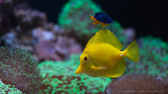 Colors (Peter Nystroem) Tags: universeum gteborg gothenburg sweden akvarium aquarium fish yellow gul fisk peternystrmphotography