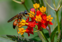 Great Golden Digger Wasp (Summerside90) Tags: insects wasps greatgoldendiggerwasp august summer backyard garden butterflyweed nature wildlife ontario canada