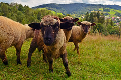 Sheep in Slovakia (ChemiQ81) Tags: slovensko sowacja slowakei slovakia  slovaka slovakiet slovakio slovakkia slovaquie  eslovaquia slowakije an tslvaic   slovakija slovkija eslovquia  slovacia slovaka slovakien slovakya  szlovkia slovacchia city miasto stadt msto outdoor chemiq adca 2016 czadca kysuce skalit owce sheep ovce kysuck beskydy mountains