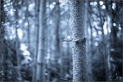 Cold Tree (mikeyp2000) Tags: forest trees tree trunks trunk monochrome splittone woods