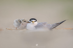 Mom! Mom! Mom! MOM!! (Explored) (santosh_shanmuga) Tags: least tern parent annoyed chick baby cute bird birding aves wild wildlife nature animal outdoor outdoors beach sand nikon d3s 500mm nj new jersey shore newjersey jerseyshore explore explored