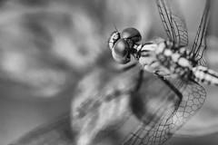 THE DRAGON ABSTRACT (haqiqimeraat) Tags: dragonfly insects macro tamron blackandwhite monochrome bw nikon d7100 bangladesh abstract nature amazingnature creatures