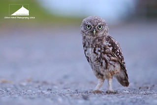 Young free and single .... Little Owl juvenile