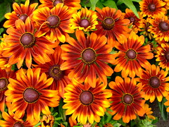 rudbeckia hirta 'autumn forest' (yewchan) Tags: flower flowers garden gardening blooms blossoms nature beauty beautiful colours colors flora vibrant lovely closeup rudbeckia rudbeckiahirta coneflower coneflowers
