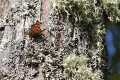 Vinbrsfuks 'Polygonia c-album' (P upptcktsfrd i naturen) Tags: blberga augusti 2016 ktadagfjrilar papilionoidea vinbrsfuks polygoniacalbum polygonia nymphalini nymphalinae vinterpraktfjrilar nymphalidae praktfjrilar