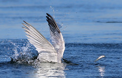 Oooops! (bmse) Tags: elegant tern bolsa chica fish fishing miss bmse salah baazizi wingsinmotion canon 7d2 400mm f56 l