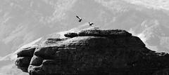 Paradise Ducks, Bell Rock Area, Hawkes Bay, NZ - 21/8/16 (Grumpy Eye) Tags: nikon d7000 nikkor 300mm 28 bell rock area hawkes bay black white paradise duck