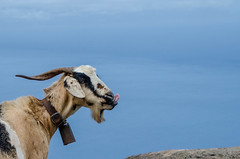 Tan a gustito (inma F) Tags: tenoalto cabra cielo mar azul blue goat tenerife