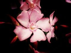 Oleander (J.C. Moyer) Tags: oleander pinkoleander flower pinkflowers flowers nature flora blackbackground colour color