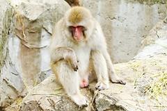 Young Male Japanese Monkey of Ueno Zoo :  (Dakiny) Tags: 2016 autmn september japan tokyo taito ueno outdoor nature park uenopark zoo uenozoo creature animal mammal primates monkey macaque apanesemonkey japanesemacaque bokeh nikon d7000 sigma apo 70200mm f28 ex hsm apo70200mmf28exhsm sigmaapo70200mmf28exhsm nikonclubit