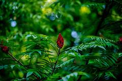 Rhus typhina (the staghorn sumac) (Erkuts) Tags: sumac plant redflower