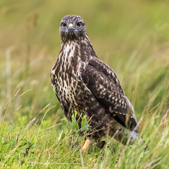 Common Buzzard (coopsphotomad) Tags: common buzzard commonbuzzard bird nature wildlife grass green brown beak raptor avian field animal britain mull bokeh britishwildlife scotland highlands canon 7dmkii eyes