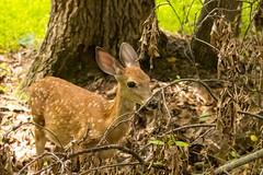 7K8A9148 (rpealit) Tags: scenery wildife nature east hatchery hackettstown alumni field fawn whitetail deer