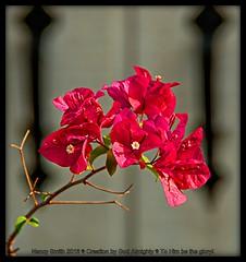 Bougainvillea (NancySmith133) Tags: bougainvillea backyardgardens summerflowers centralfloridausa orangecountyfl