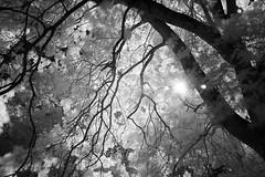 Ash (Apionid) Tags: ash tree infrared ir 720nm nikond40 werehere hereios